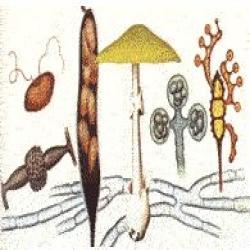 الفطريات فلاشي