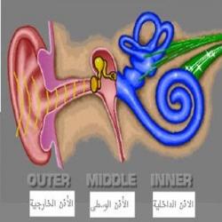 تركيب الأذن